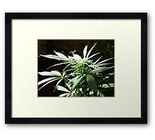 Ganja Weed Framed Print