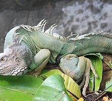 Iguana by Indrani Ghose