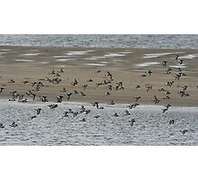 Flock of oystercatchers Photographic Print