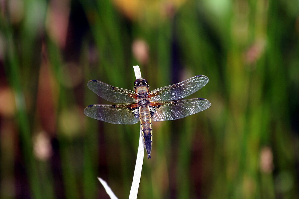 Four-spotted Chaser Dragonfly by Paul Holland