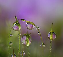 Lilac moss by Lyn Evans
