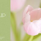 Soft pastel tulip by dhmig