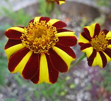 Red & Yellow Marigold Flowers by GnomePrints