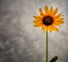 Lone Sunflower by Bob Larson