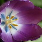 Purple Tulip by Sandy Keeton