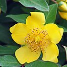 Yellow Camellia  by Bonnie Robert