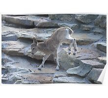 Baby Mountain Goat Poster