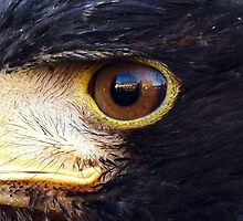 In the eye of the Hawk! by artfulvistas
