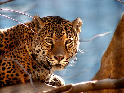 Jaguar His Golden Eyes