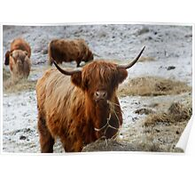 Hairy Cow -Highland Cattle Poster