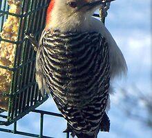 Reba Red-Bellied Woodpecker by WalnutHill