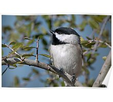 Carolina Chickadee in Holly Tree Poster