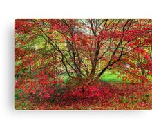 Red Japanese Maple in Autumn Canvas Print