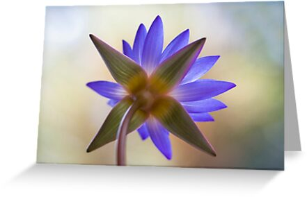 Shining Thru Two - purple waterlilly  by Jenny Dean