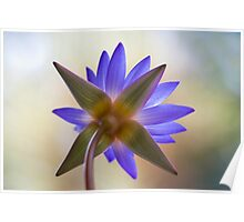 Shining Thru Two - purple waterlilly  Poster