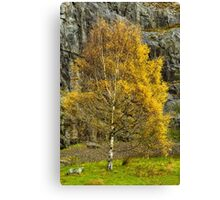 Silver Birch in Autumn Colours Canvas Print