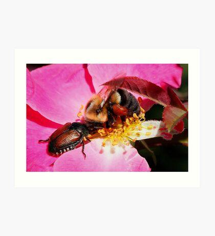 Sharing - Bumblebee and Beetle Sharing Nectar Art Print