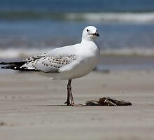 Seagull - Arrawarra Beach by Peter Walton