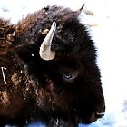 The Buffalo. by Ronda Basteyns