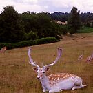 Knole, Sevenoaks, Kent, the deer park by BronReid