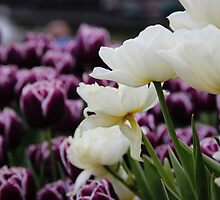 Tiptoe Through the Tulips by Kate Bolton