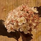Bronze Leafed Spirea Blossom Macro  by Sandra Foster