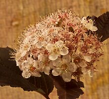 Bronze Leafed Spirea Blossom Macro  by Sandra Foster