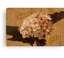 Bronze Leafed Spirea Blossom Macro  Canvas Print