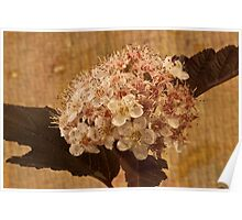 Bronze Leafed Spirea Blossom Macro  Poster