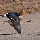 Oyster Catcher by Bill  Robinson
