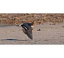 Oyster Catcher Photographic Print