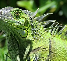 iguana showing no fear by Katherine Fries