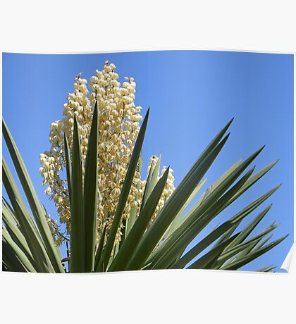 Yucca Plant Poster