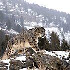 MrShutterbug Wildlife Photography Snow Leopards 2011 by mrshutterbug