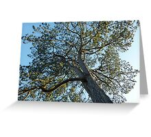 Blue Sky Pine ~ Dawlish, South Devon Greeting Card