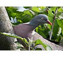 Hungry Wood Pigeon Photographic Print
