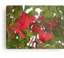 Autumn vine leaves Metal Print