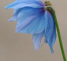 Himilayan Poppy Portrait by Don Schroder