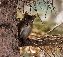 American Red Squirrel - popping out by Joy Leong-Danen