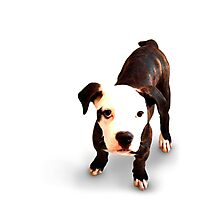 Brindle Bull Terrier Puppy Photographic Print