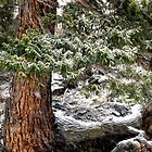 Pine and Snow by chas48