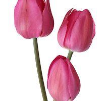 three pink tulips by OldaSimek