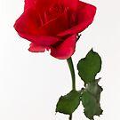 red rose by OldaSimek