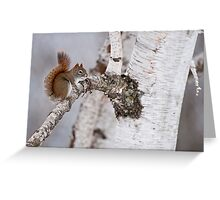Red Squirrel on Birch Tree Greeting Card