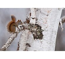 Red Squirrel on Birch Tree Photographic Print