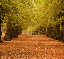 lime tree avenue. by Carl Mickleburgh