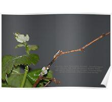 Cicadellid Nymph - Scaphytopius - La Mirada, CA USA Poster