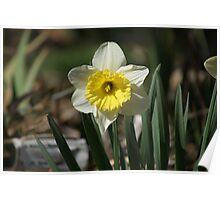 Just Daffy About Daffodils Poster