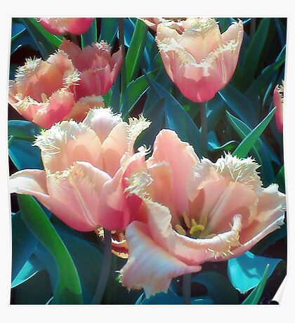 Frilly Tulips Poster