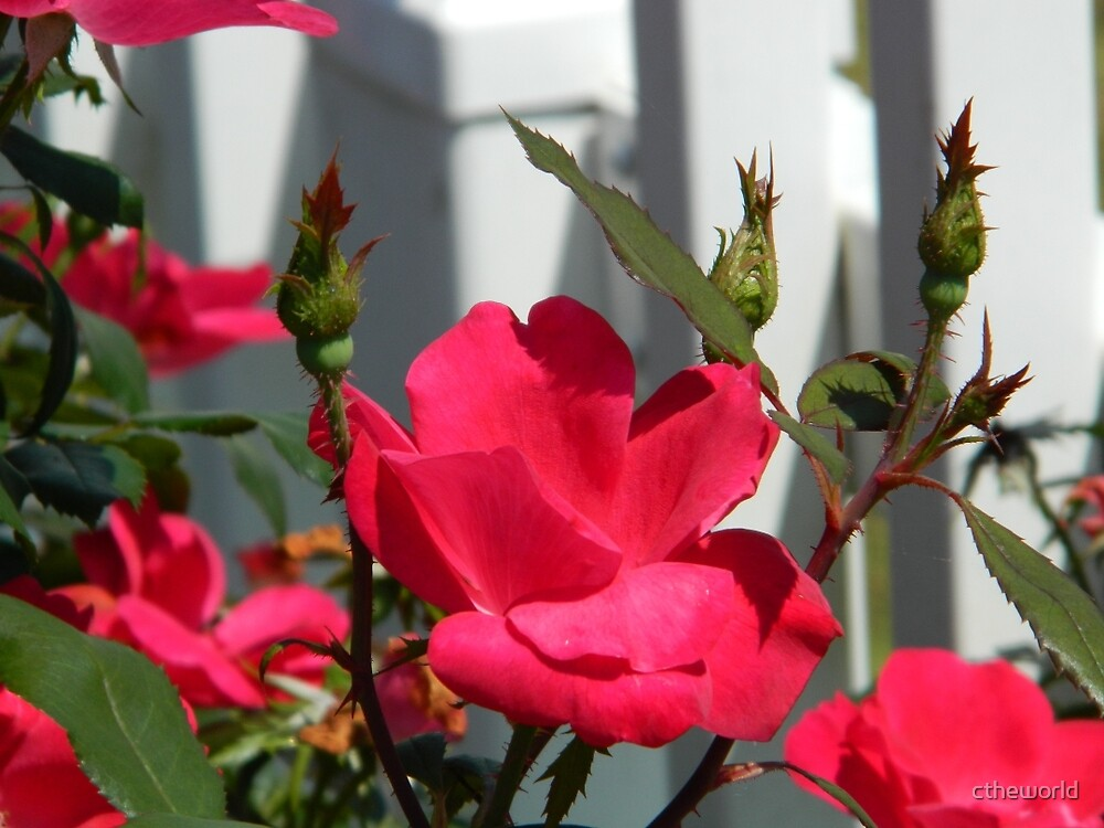 Roses Against the Fence  ^ by ctheworld